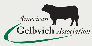 Gelbvieh heifers for sale